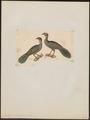 Penelope jacucaca - 1820-1860 - Print - Iconographia Zoologica - Special Collections University of Amsterdam - UBA01 IZ16900129.tif