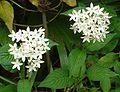 Pentas lanceolata white.jpg
