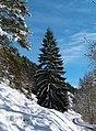 Perfect Christmas Tree - panoramio.jpg