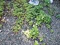 Perilla frutescens (L.) Britton (AM AK309109-2).jpg