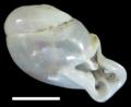 Perrottetia hongthinhae shell.png
