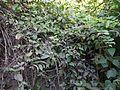 Persicaria chinensis (L.) H. Gross (8287193452).jpg
