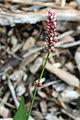 Persicaria maculosa 9333.jpg