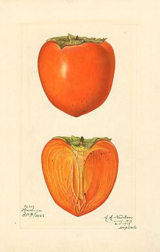 Amanda Newton (illustrator) - Japanese persimmon (variety Hachiya); watercolor by Amanda Newton, 1915.