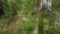 Persoonia adenantha (15496117824).jpg