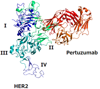 Pertuzumab - The structure of HER2 and pertuzumab