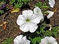 Petunia sp. (Middletown, Ohio, USA) 1 (49111673653).jpg