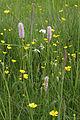 Pflanzenwelt in den Peenewiesen.jpg
