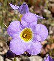 Phacelia fremontii flower 2.jpg