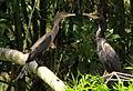 Phalacrocorax brasileanus (Cormorán neotropical) (14129864447).jpg