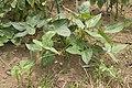 Phaseolus vulgaris 02.jpg
