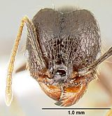 "The head view of a ""major"" worker of P. purpurea, with a scale to distinguish size"