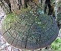 Phellinus robiniae (Murrill) A. Ames 315090.jpg