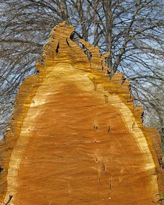 Huáng bǎi - Image: Phellodendron amurense, cut wood