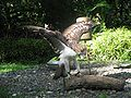 Philippine Eagle Spread Wings.jpg