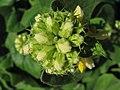 Phlomis russeliana Żeleźniak żółty 2010-06-11 05.jpg