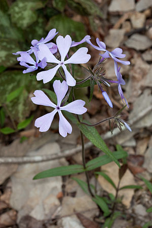 Unknown Phlox in Beaman Park in Davidson Count...