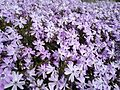 Phlox in Lowell Massachusetts.jpg