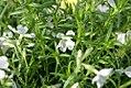 Phlox subulata White Delight 0zz.jpg