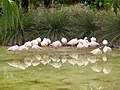 Phoenicopterus minor - flamingo - flamant - 06.jpg