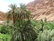 Date Palm orchard, Boumalne, Morocco