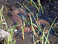 Photo of the Week - Watersnake (VA) (6208431968).jpg