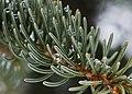Picea glauca (6990917140).jpg