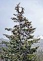 Picea obovata (Ель сибирская), Национальный парк Таганай (31).jpg