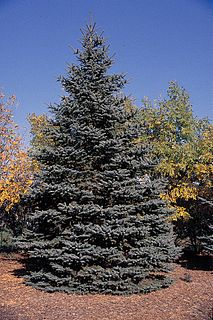 Blue spruce species of plant