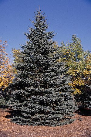 Blue spruce - Image: Picea pungens tree