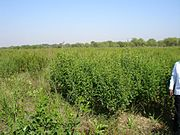 Pigeonpea cultivation on Safed Musli Bed