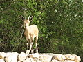 PikiWiki Israel 28368 Wildlife and Plants of Israel.jpg