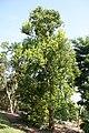 Pimenta racemosa 24zz.jpg