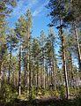 Pine forest in Finland.jpg