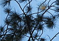 Pine needles abstract.jpg