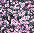 Pink-flowers-wolmyeongdong.jpg