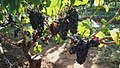 Pinot Noir grapes at White Rose Vineyard.jpg