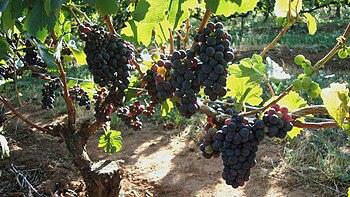 In the Oregon Willamette Valley wine region of...