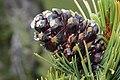 Pinus albicaulis 8574.JPG
