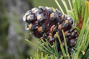 Whitebark Pine Français : Un cône de Pin à éco...