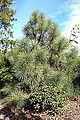 Pinus engelmannii - Mendocino Coast Botanical Gardens - DSC02014.JPG