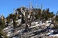 Pinus longaeva 11.jpg