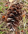 Pinus peuce cone.jpg