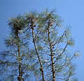Pinus sabiniana Pinnacles NM 6.jpg