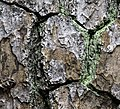 Pinus taeda 13 NBG FS LR.jpg