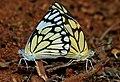 Pioneer or Caper White (Anaphaeis aurota) mating W IMG 9503.jpg