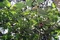 Piper auritum 34zz.jpg