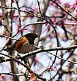 Pipilo maculatus -California-8.jpg