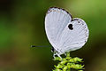 Pithecops fulgens urai female ventral view 20150330.jpg