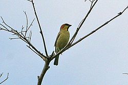 Plain-backed Sparrow Passer flaveolus (8080163397).jpg